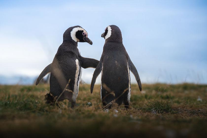 pingvin7
