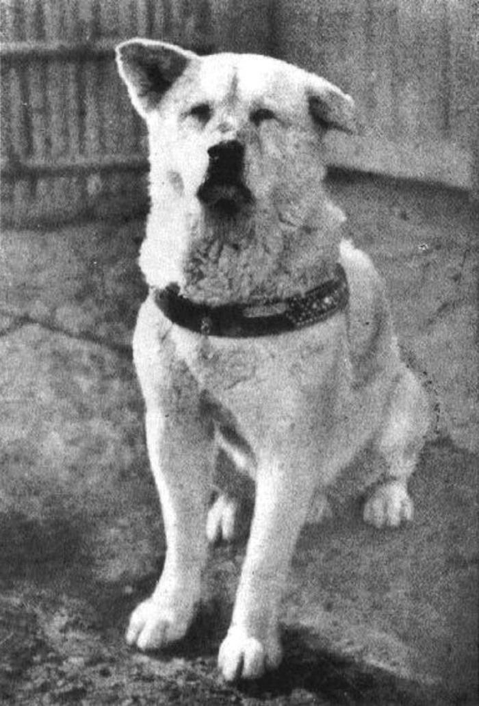 A kutyus mindennap a pályaudvaron várta gazdáját, hogy hazaérjen a munkából, azonban 1925. május 25-én hiába várt szegény Hacsikó a professzorra.
