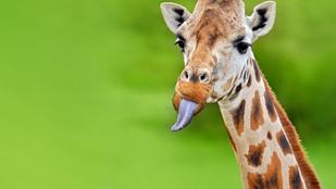 Ezért kék a zsiráf nyelve