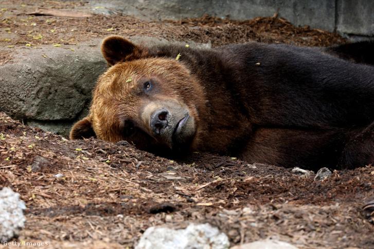 Grizzly egy michigani állatkertben. Őt nem fogja lelőni Trump Jr.