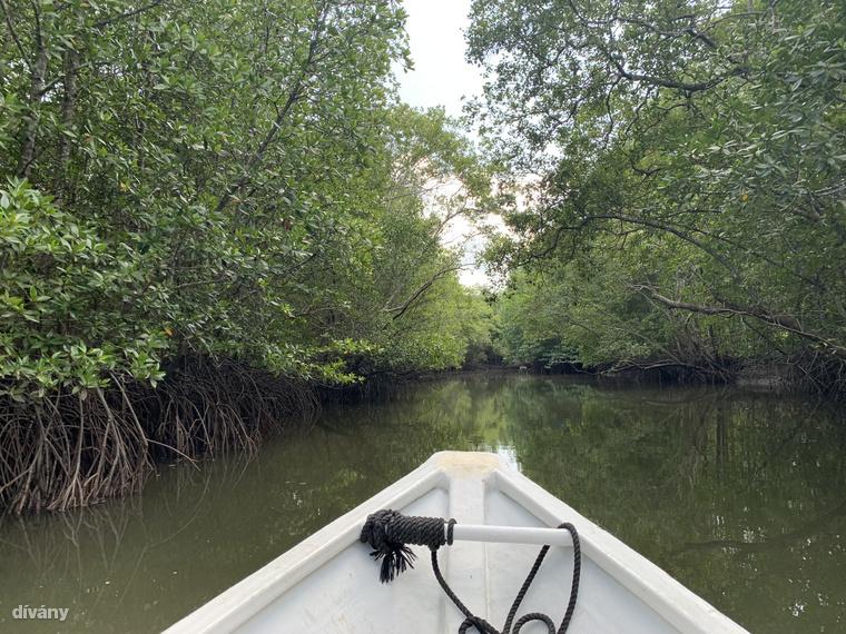 A sajátos életmódú mangrove fák a trópusi tengerpartok mentén, az édes és a sós víz találkozásánál, mocsaras környezetben érzik magukat a legjobban