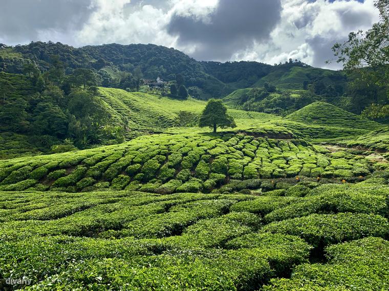 Ezek az élénkzöldben tündöklő teaültetvények ideális helyszínei egy kiadós sétának, amit helyi termesztésű teák szürcsölgetésével is fel lehet dobni.