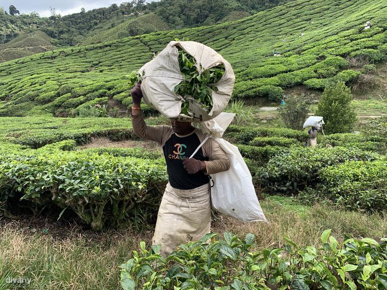 A földeken manapság nagyrészt bangladesi és nepáli vendégmunkások dolgoznak