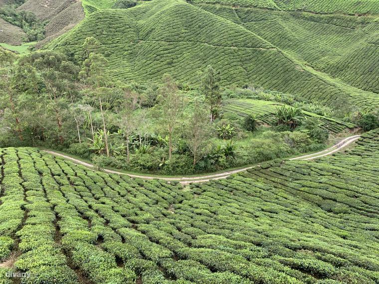 A Cameron-felföld tökéletes táptalaja a legjobb minőségű fekete és zöld teáknak, 1300 méter felett ugyanis lassabban növekednek, ám éppen ezért erőteljesebb az aromájuk