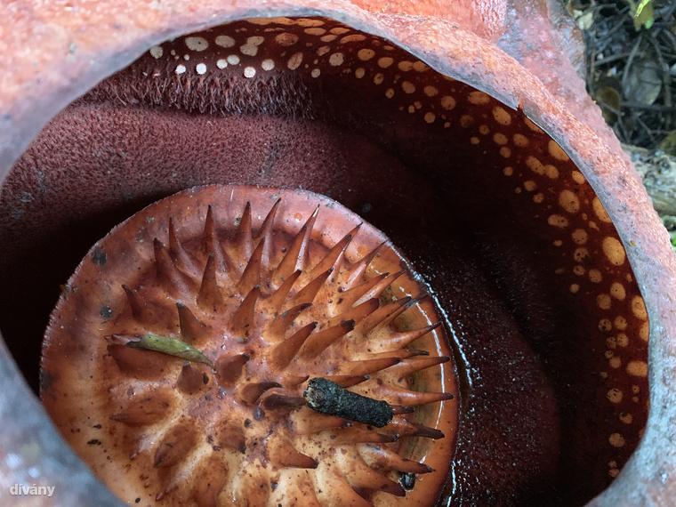 Szépséghibája, hogy a rothadó húséhoz hasonló kellemetlen szagot áraszt, ugyanis az erre a bukéra gyűlő rovarok (jellemzően döglegyek) porozzák be.