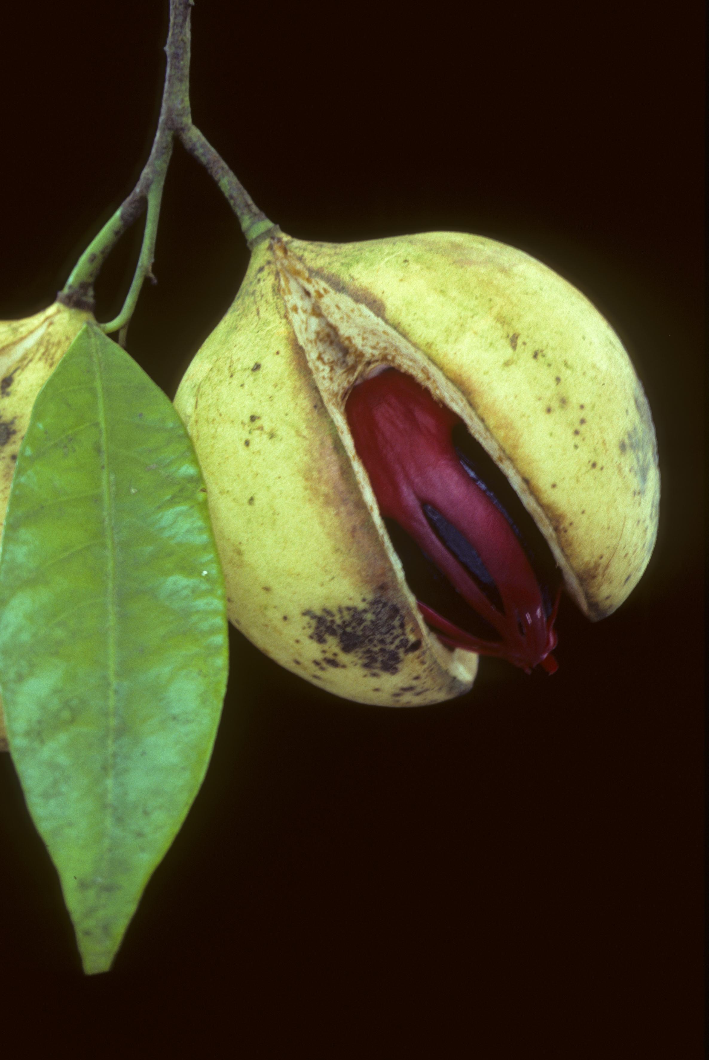 Ez melyik fűszernövény?