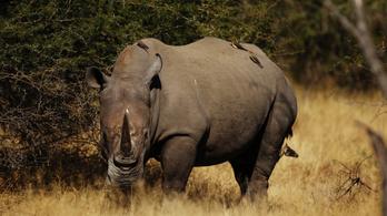 50 orrszarvút öltek meg botswanai orvvadászok
