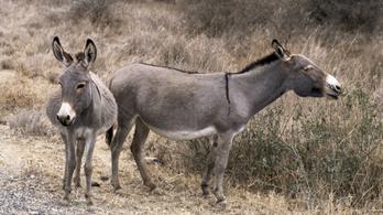 Bezárják a szamárvágóhidakat Kenyában