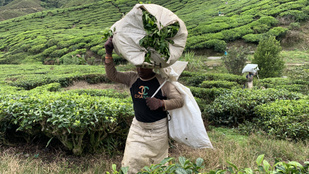 Mangrovemocsarak, rovarevő növények, végtelen teaültetvények – kirándulás Észak-Malajziában