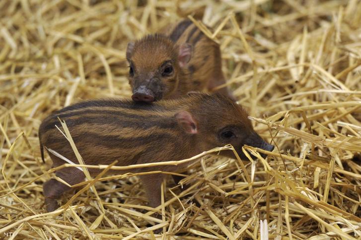 A Fővárosi Állat- és Növénykertben született cebui disznók (Sus cebifrons) 2015. november 25-én