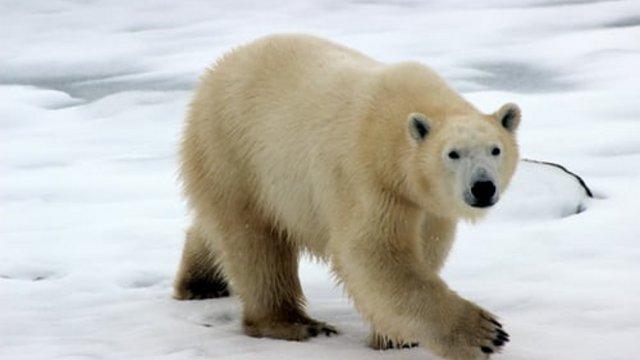 A jegesmedvék nemzetközi napja