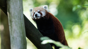 A vörös panda valójában két külön faj