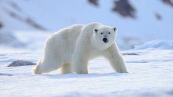 Növekszik a kannibalizmus a jegesmedvék között