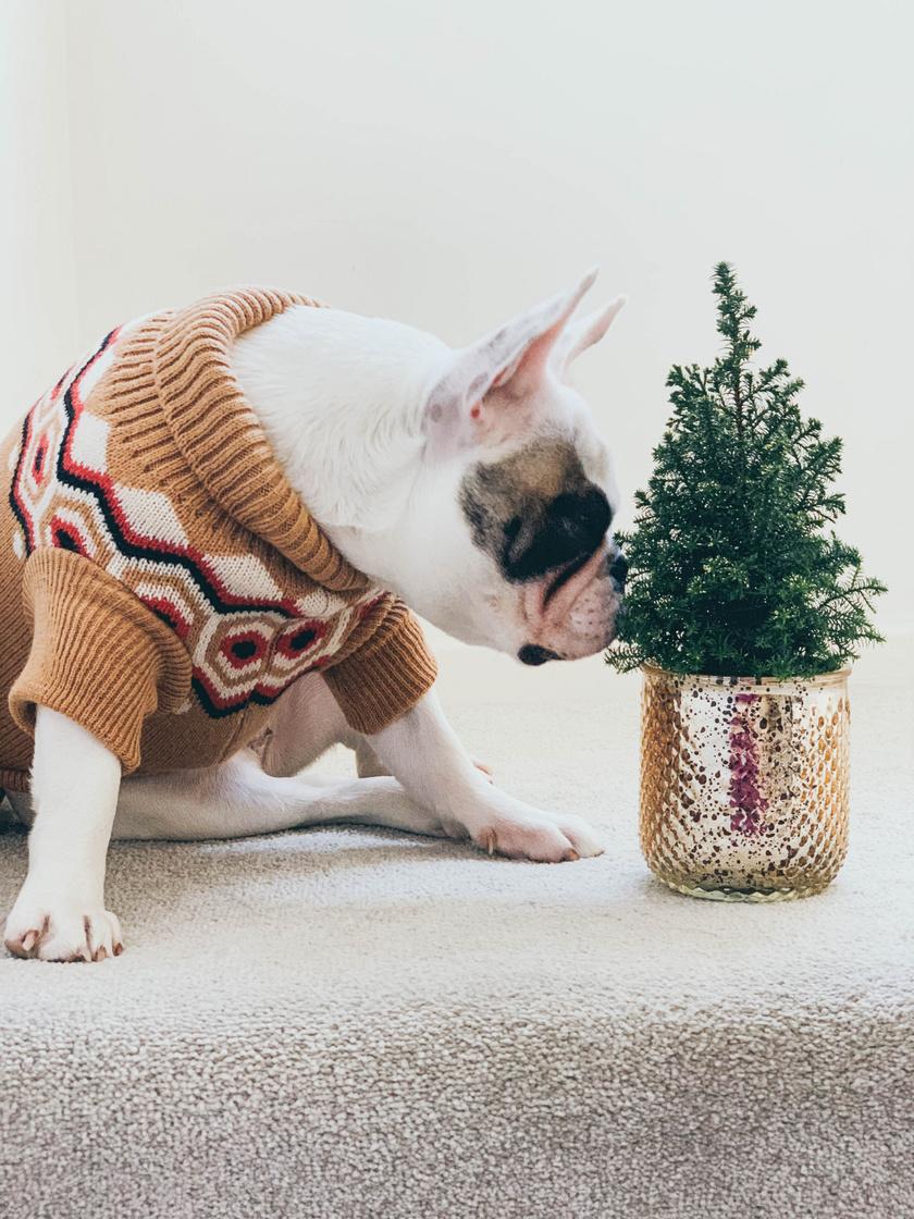 szaglaszo-kutya