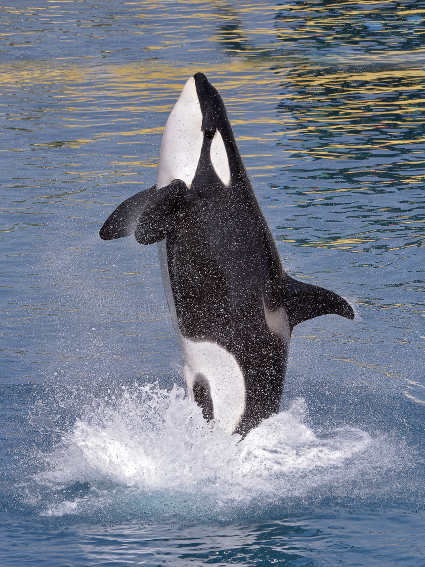 kardszarnyu-delfin