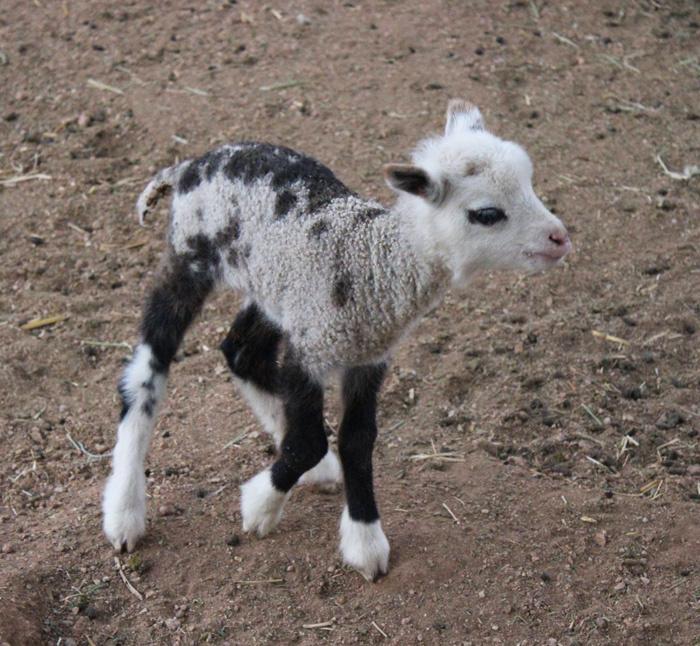 Bárány és kecske keveredéséből született cukiság.