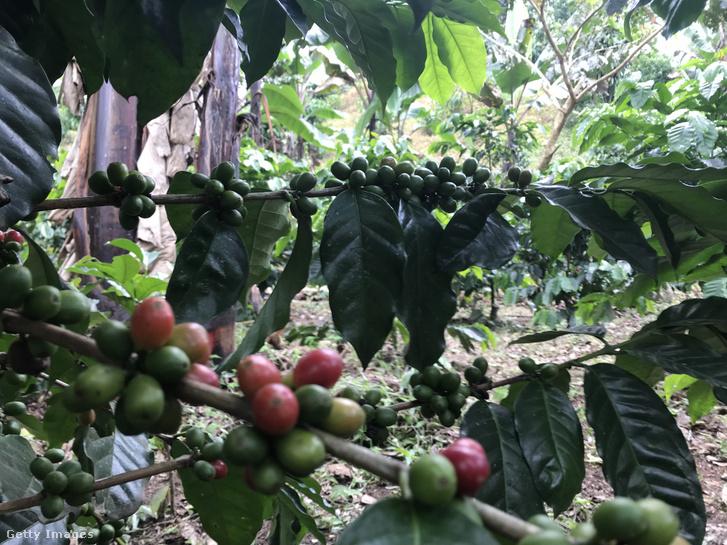Kávéültetvény Guatemalában - Illusztráció