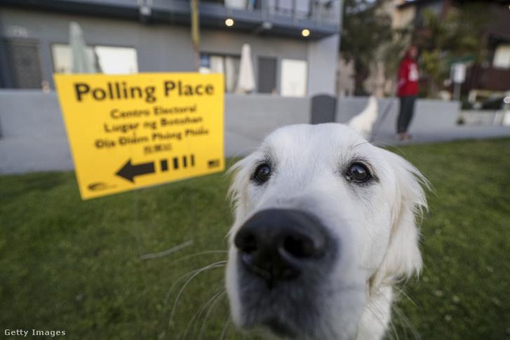 Daisy, egy Golden Retriever az egyik San Diegó-i szavazókör előtt