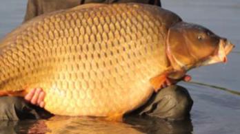 Feketepiacon adják-veszik a természetes vizekből kilopott óriáshalakat