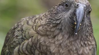 Bizonyos papagájok képesek esélyt latolgatni  a döntésük előtt