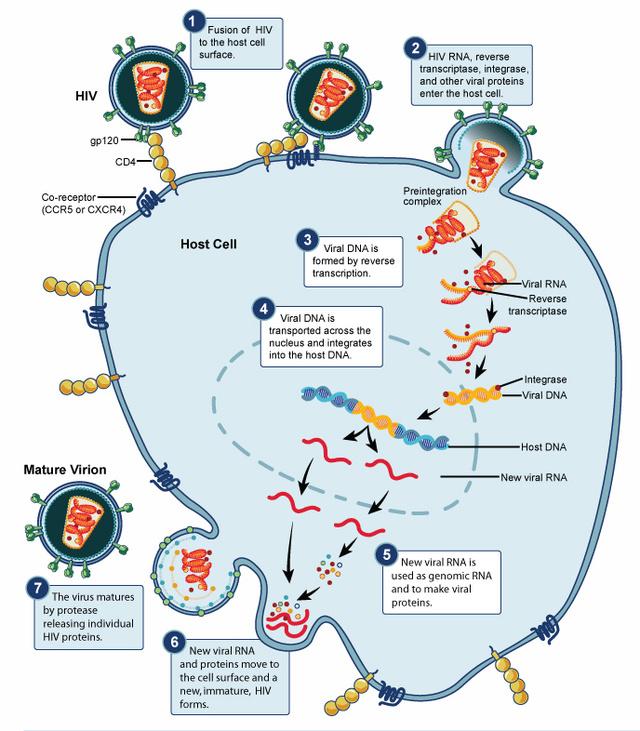 A HIV vírus szaporodása. 1. A vírus glikoproteinje segítségével kapcsolódik egy fehérvérsejthez. 2. Összeolvadnak a sejthártyák, a vírus örökítőanyaga, enzimjei, szerkezeti fehérjéi bejutnak a sejtbe. 3. A reverz transzkriptáz enzim a vírus RNS-ből az emberiéhez hasonló DNS-t készít. 4. A virális DNS a sejtmagba jut, és beépül az emberi génállományba. 5. Ha a fehérvérsejt aktiválódik, a vírus RNS-ének új példánya készül, a megfelelő vírusfehérjékkel együtt. 6. Az RNS és a poliprotein-csomagban létező fehérjék a sejt széléhez úsznak, és új vírust hoznak létre. 7. A vírus proteáz enzimje méretre vágja a poliproteinből a saját fehérjéit. Ezzel az új vírus fertőzőképessé válik.