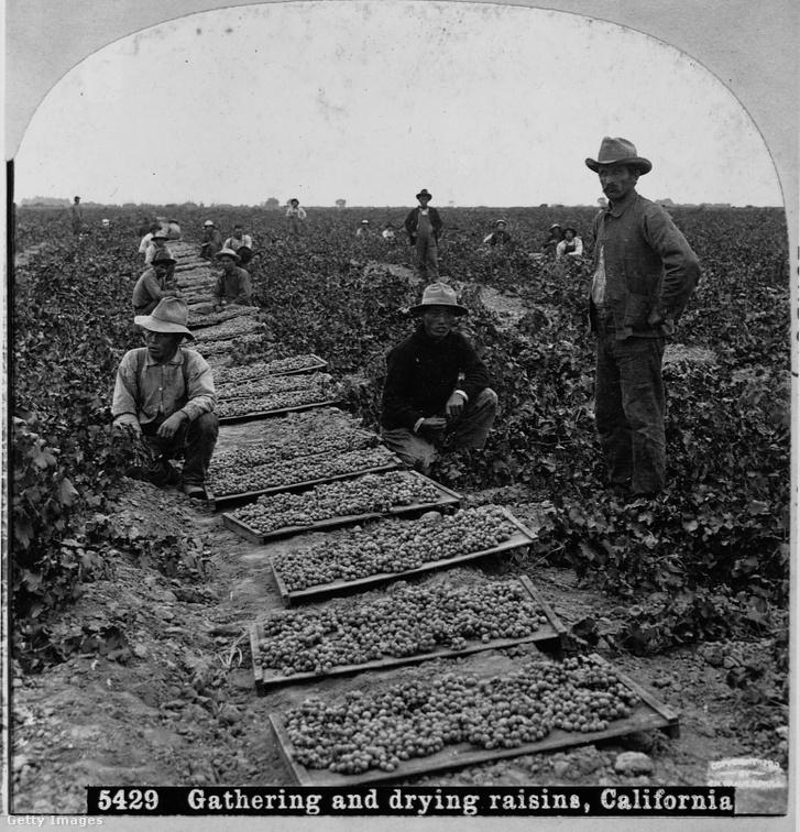 Bevándorló munkavállalók egy kaliforniai szőlő földön 1899.