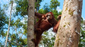 Borneóban több fát vágnak ki az engedély nélküli területeken, mint az engedéllyel rendelkezőkön