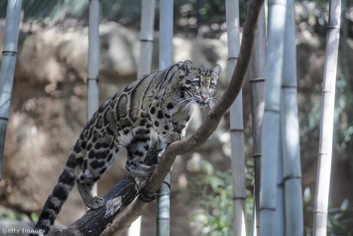 Ködfoltos leopárd az atlantai Georgia állatkertjében 2019-ben