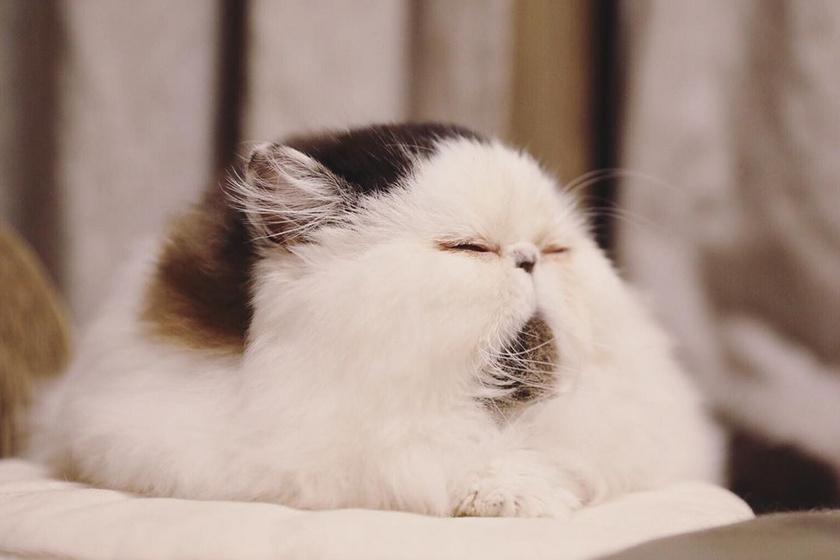 Zuu fajtáját tekintve egzotikus hosszú szőrű macska, ám még ennél a típusnál is ritka, hogy ilyen arcszerkezettel rendelkezzenek a cicák.