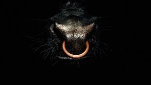 Miért van a bikák orrában karika?