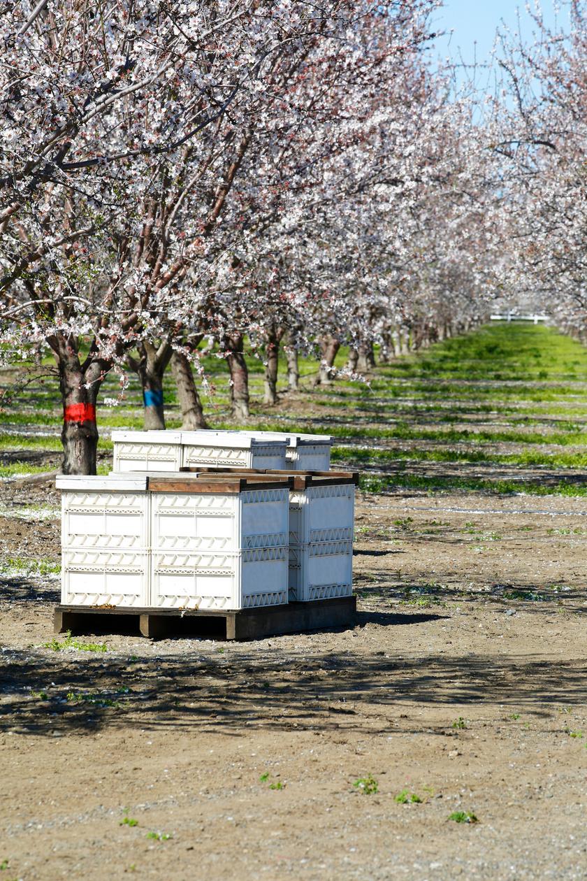 mandula föld termesztés méhek beporzás