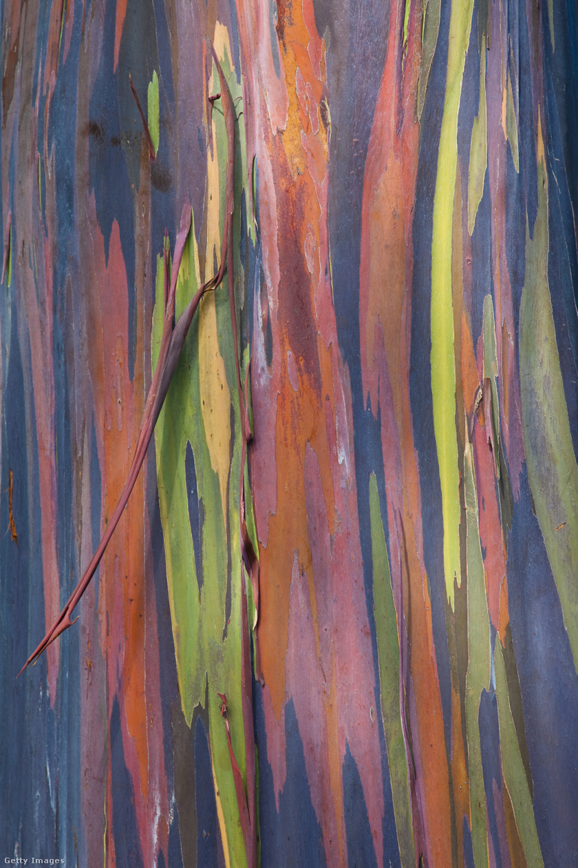 Nem véletlenül hívják szivárványeukaliptusznak a fát, hiszen a kérge gyönyörű színekben pompázik.