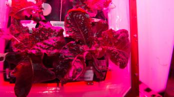 Az űrben termelt salátának pont olyan íze van mint a kertinek