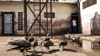 Rejtélyes módon pusztult el ezer keselyű Bissau-Guineában