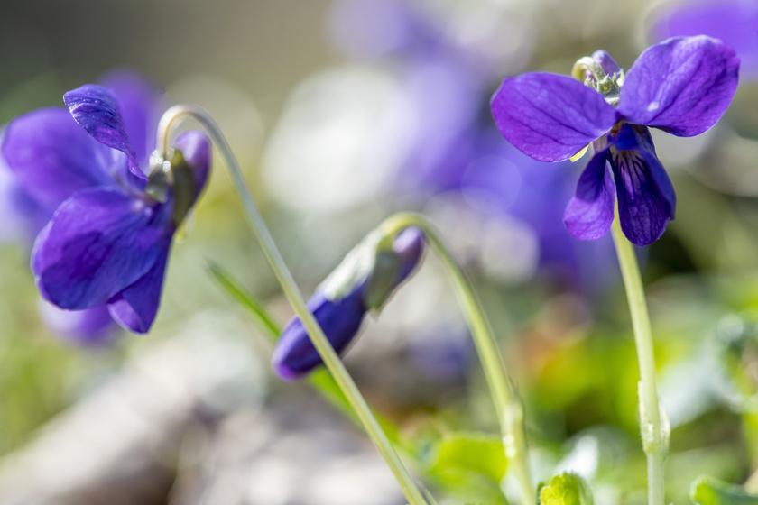 Virágzó ibolya Orosházán 2020. március 7-én.