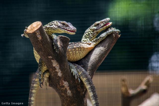 Így néz ki a komodói sárkány / Ilusztráció