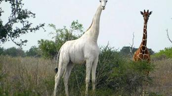 Megölték Kenya egyetlen fehér nőstény zsiráfját