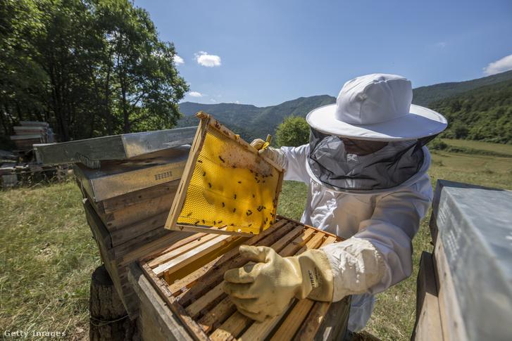 Egy spanyol méhész ellenőrzi a kaptárakat és a mézállományt