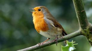 Miért énekelnek a madarak?