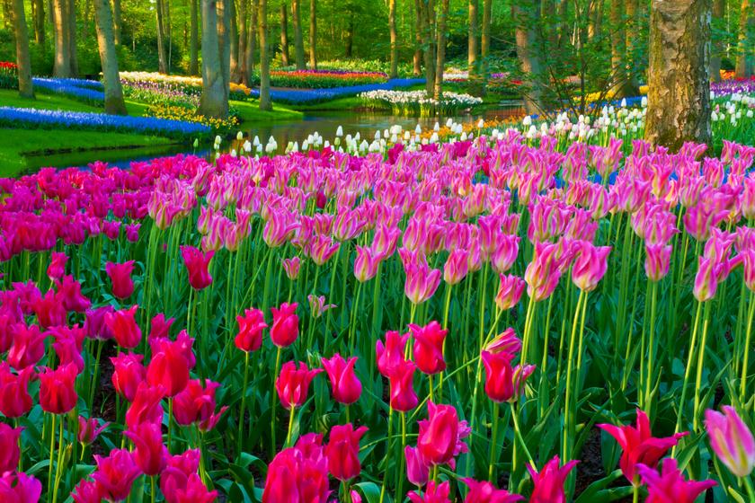 A Hollandiában található Keukenhof kert a világ egyik leghíresebb tulipánföldjének ad otthont. Lisse városa mellett fekszik a 32 hektáros park, ami minden évben virágba borul márciustól egészen májusig.
