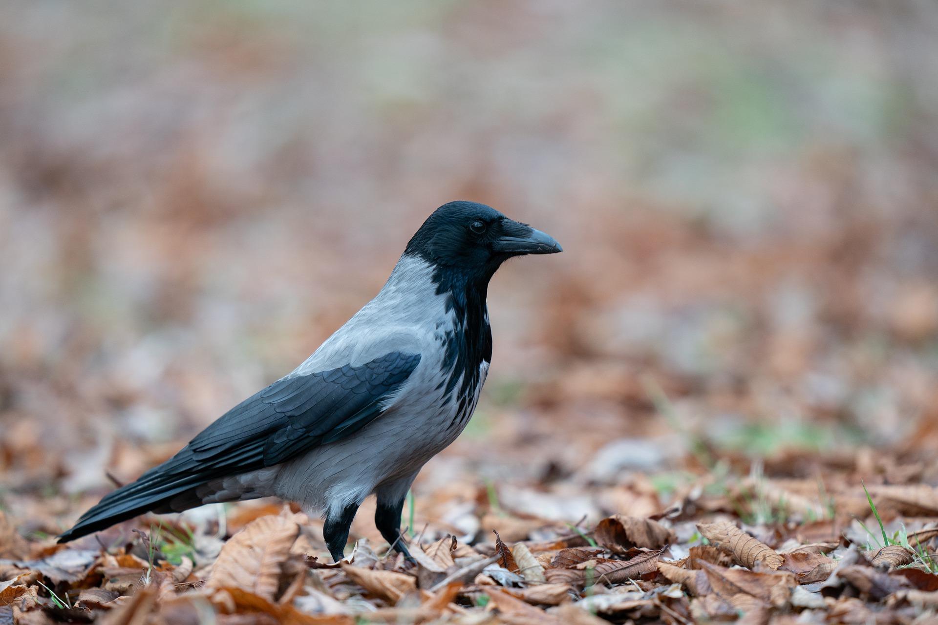 Városokban is találkozhat az ember ezzel a hamuszürke és fekete tollú madárral. Hogy hívják?