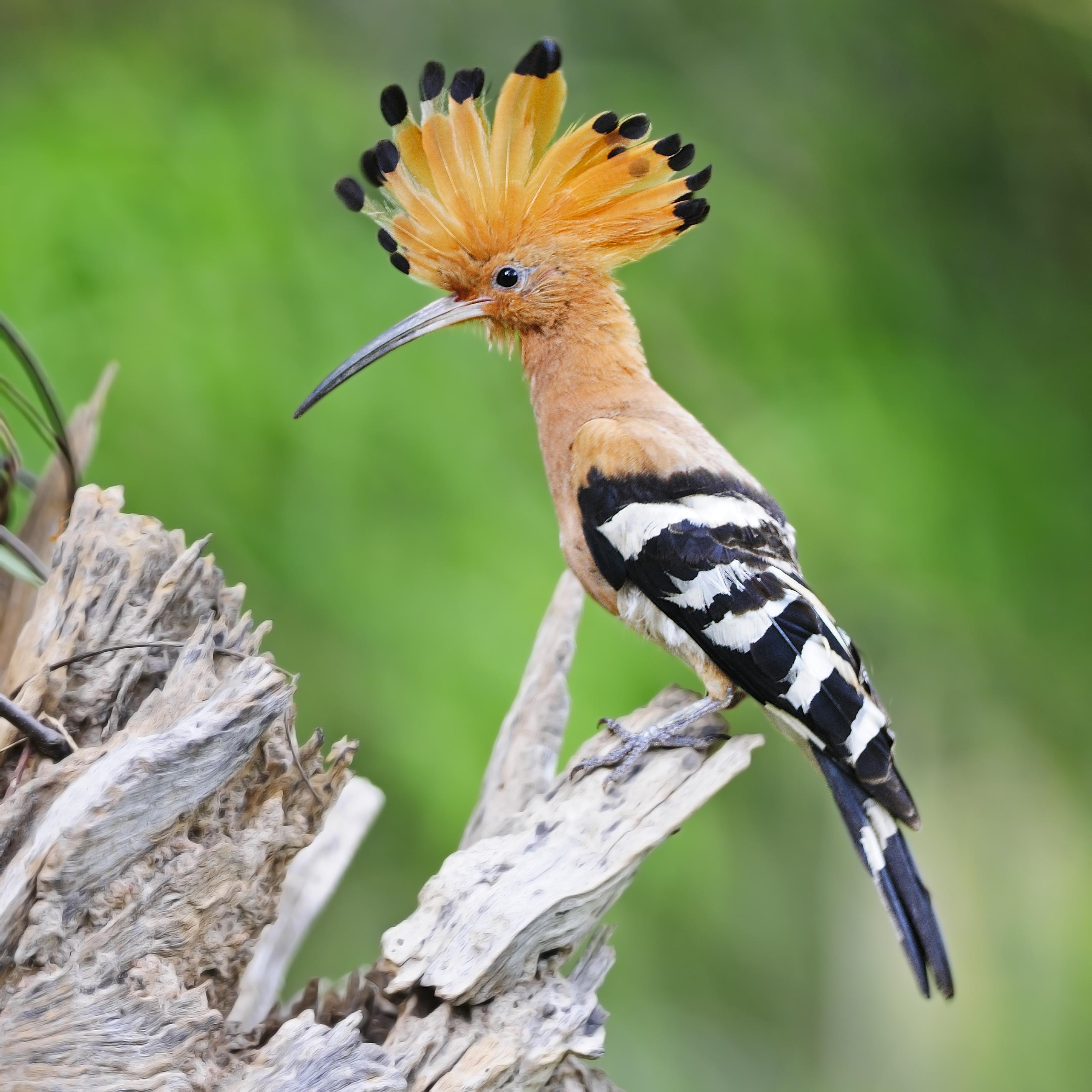 Rétek, legelők környékén él ez a gyönyörű, rózsaszín tollú madár. Hogy nevezik?
