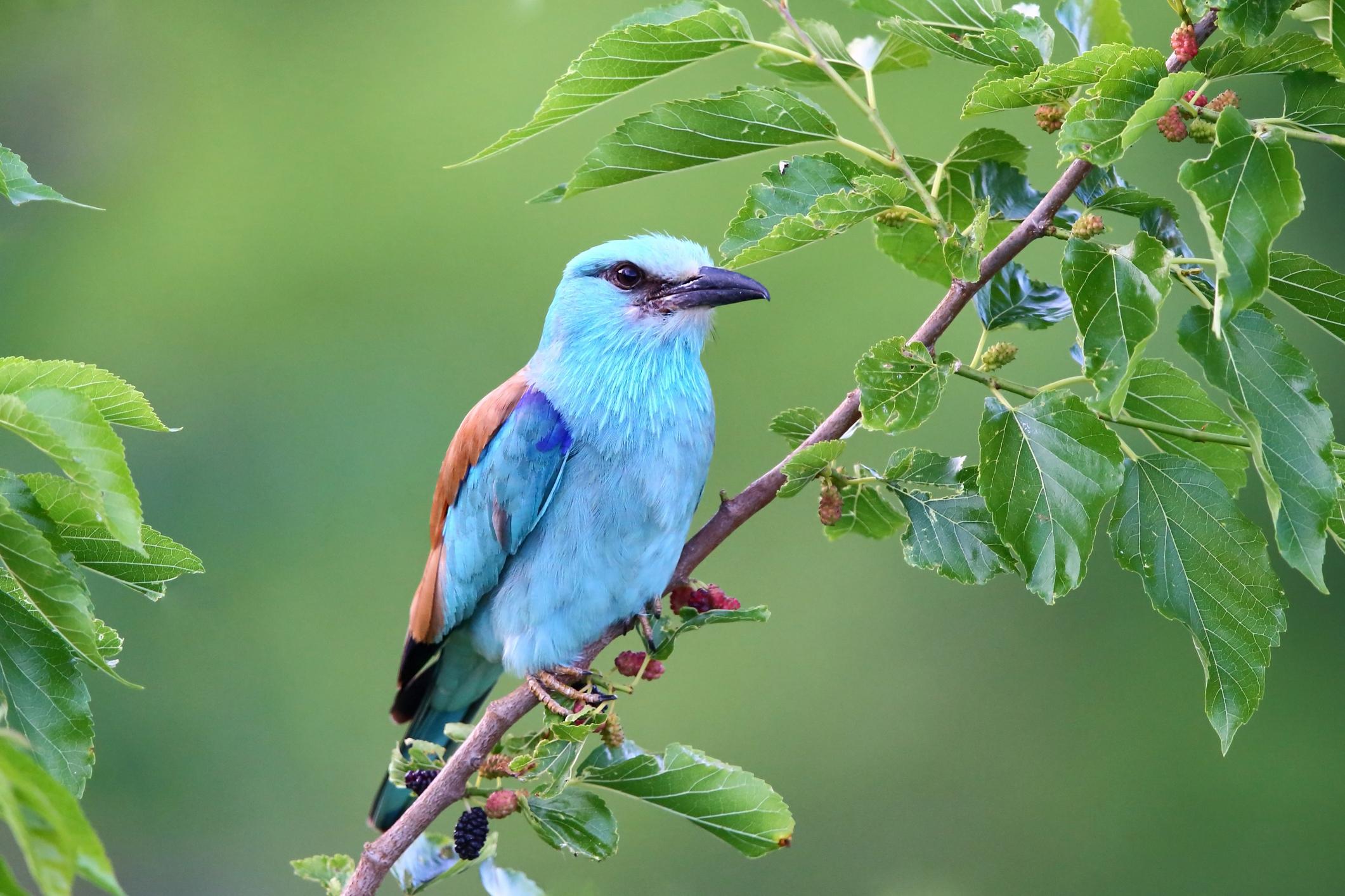 Hogy hívják ezt a szép kék madarat, amely az Alföldön fordul elő, és fokozottan védett?