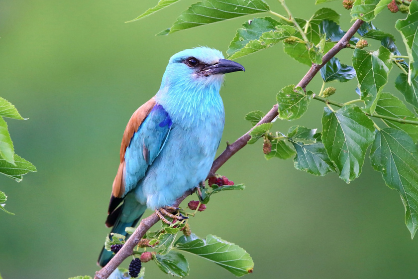 10 kvízkérdés madárbarátoknak: hogy hívják ezt a szép kék madarat?