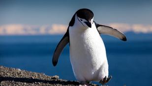 Így indultak kirándulásra a pingvinek egy bezárt amerikai víziállatkertben