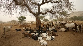 Csád állatokkal törleszti 82 millió fontos tartozását Angolának