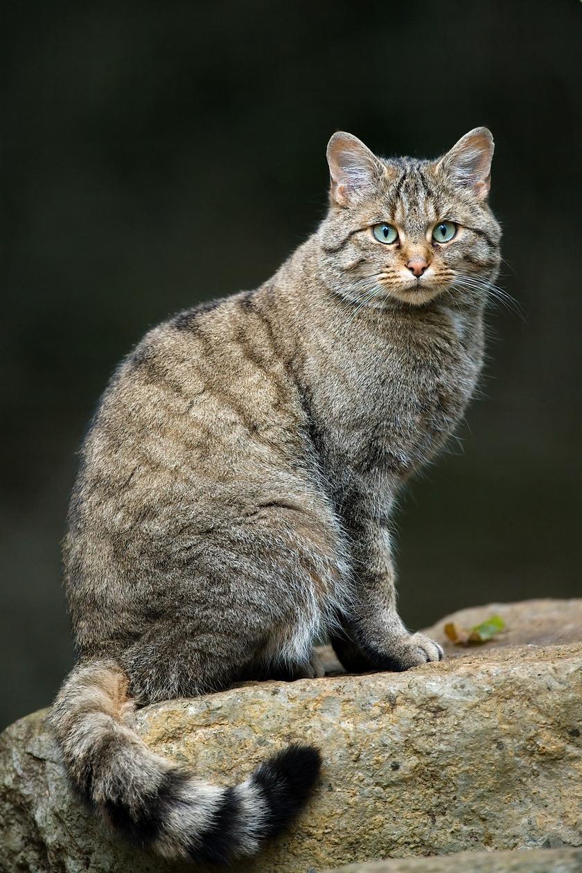 Nem biztos, hogy elkóborolt házi macskát látsz bujkálni az erdőben: a vadmacska 4-6 kilogramm súlyú, vastag, kerekded végű farkáról ismerni meg. Magyarországon főként az Északi- és Dunántúli-középhegységben és néhány további erdőségen él. Fokozottan védett, eszmei értéke 250 ezer forint.