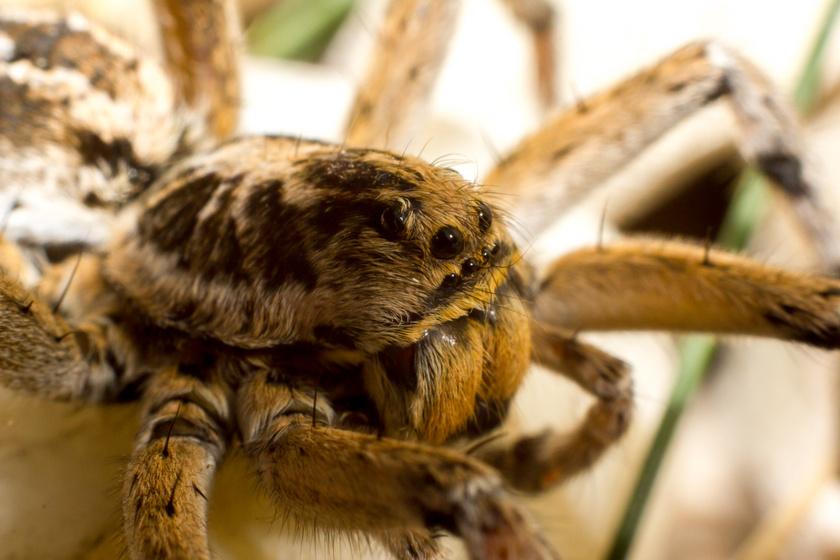 Magyarország madárpókjának is nevezik a szongáriai cselőpókot, mely a legnagyobb termetű pókfaj nálunk, főleg az alföldi szikes, homokos pusztákon jellemző. Csípése fájdalmas, de ha nem zavarod meg, nem fog megmarni. Védett, eszmei értéke 5 ezer forint.