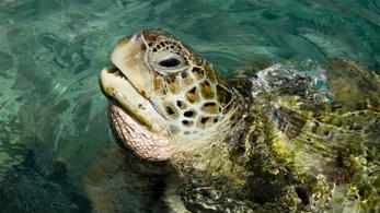Azért eszik meg a teknősök a műanyagot, mert ételszaga van