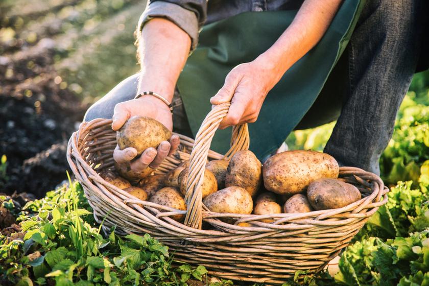 krumpli szedés belső